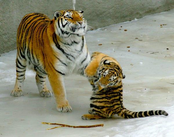 Tiger Play Art   DocSaundersPhotography