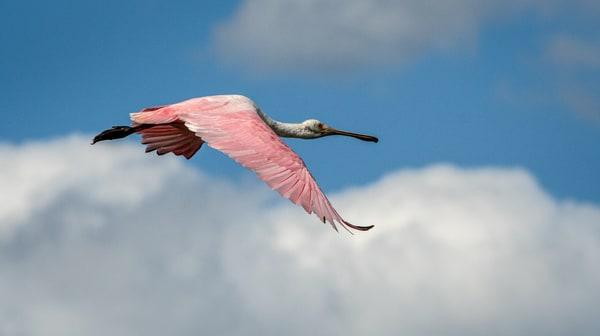 Graceful spoonbill in flight Photography By Festine