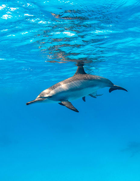 Spinner Dolphin is a fine art photograph available for sale.