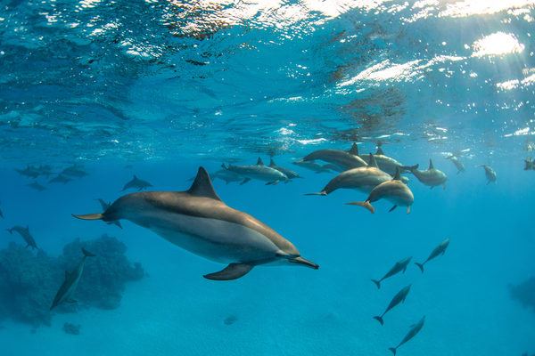 A large pod of spinner dolphins is a photograph available as a fine art print for sale.