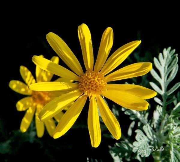 The Wonderful Daisy, Photo by Terry Rosiak