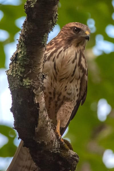 Broad Winged Hawk Photography Art | Monteux Gallery