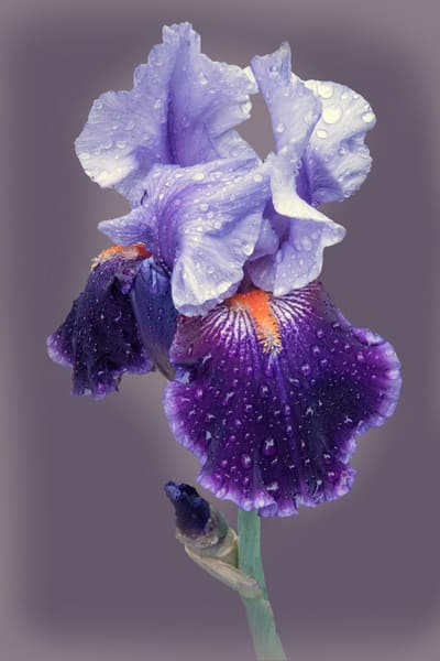 Violet Iris After The Rain Art | Cincy Artwork