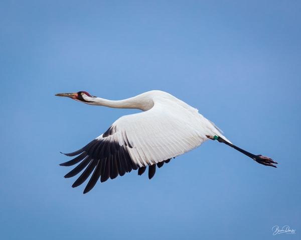 Whooping Crane In Flight Photography Art | brucedanz