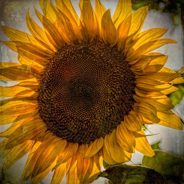 Not So Shabby Sunflower  Photography Art | Pam Phillips Photography