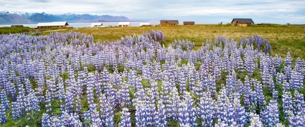 Lupine Dream  Photography Art | Pam Phillips Photography
