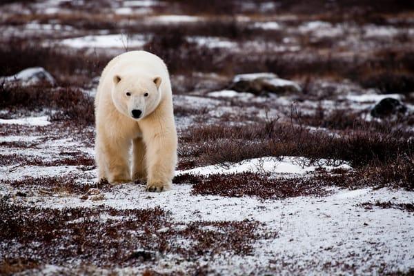 Curious Polar Bear, Seal River, Manitoba, Canada