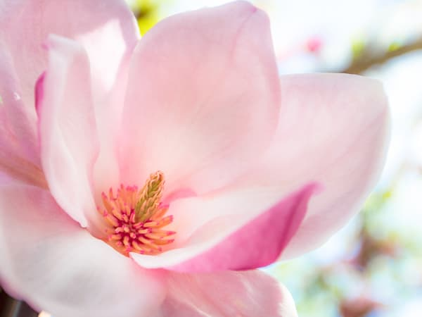 Pink Magnolia Photography Art | Bird In Paradise