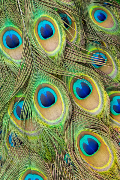 Living Peacock Abstract Photography Art | Bird In Paradise