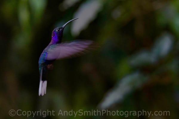 fine art photogrpah of Violet Sabrewing, Campylopterus hemileucurus