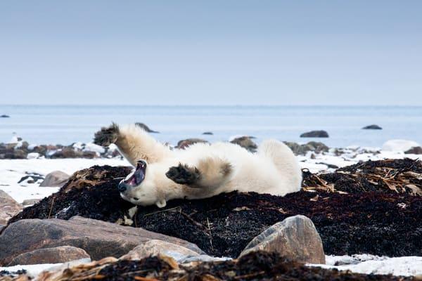 Polar Bear - Canada
