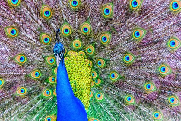 Peacock Photography Art | Robert Leaper Photography