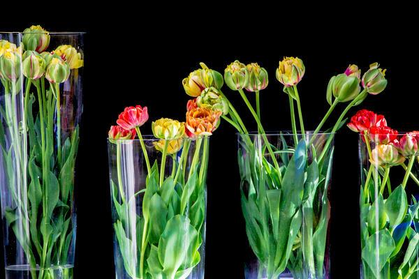 Tulips Photography Art | Robert Leaper Photography