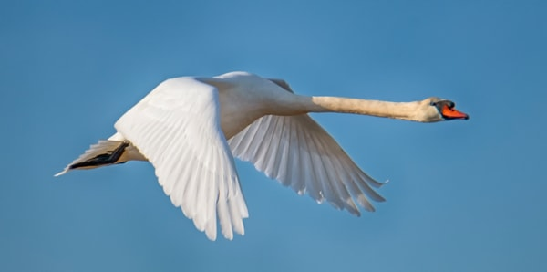 Sengekontacket Swan 1 Photography Art | Michael Blanchard Inspirational Photography - Crossroads Gallery