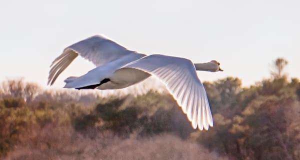 Sengekontacket Swan 2 Photography Art | Michael Blanchard Inspirational Photography - Crossroads Gallery
