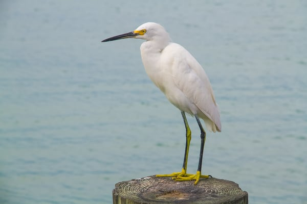 Snowy Egret Photography Art | Lake LIfe Images