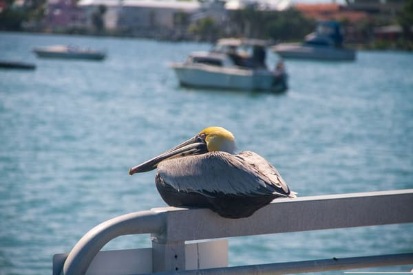 Brown Pelican On Bridge Photography Art | Lake LIfe Images