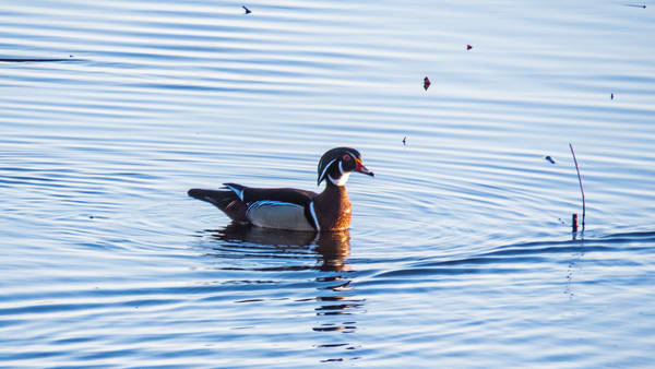 Male Wood Duck Photography Art | Lake LIfe Images
