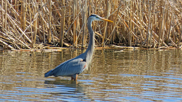 Great Blue Heron Photography Art | Lake LIfe Images