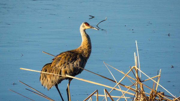 Sand Hill Crane Photography Art | Lake LIfe Images