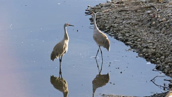 Sandhill Cranes Photography Art   Lake LIfe Images