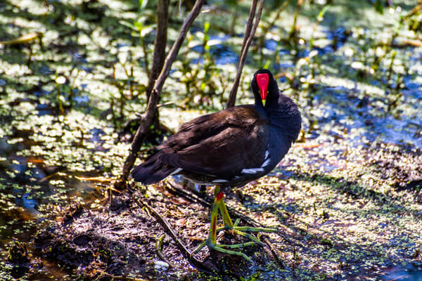 Common Moorhen Photography Art | Lake LIfe Images