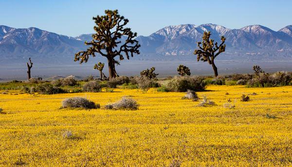 Golden Carpet Bloom Photography Art | Josh Kimball Photography