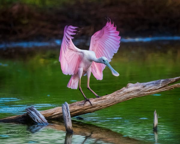 The Spoonbill has Landed - 8x10