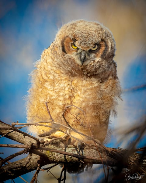 """Great Horned Owlet Gives """"The Look"""" Photography Art 