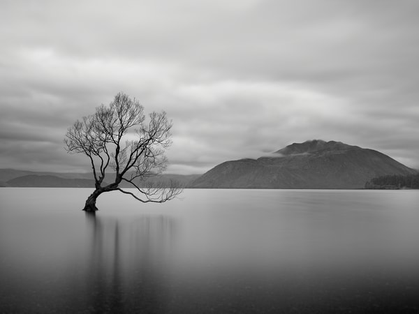 A classic black and white image of the Wanaka Tree.