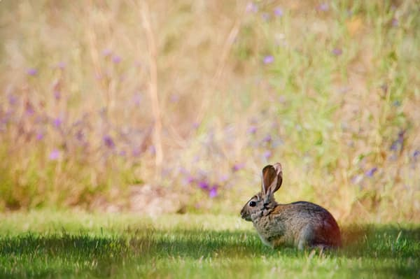 Cottontail On The Lawn Photography Art | Carol Brooks Parker Fine Art Photography
