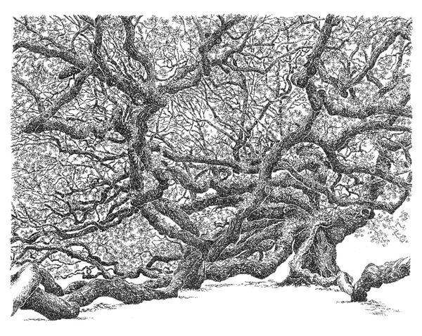 angel oak, johns island, south carolina:  original drawings, in elegant pen, available for purchase online.
