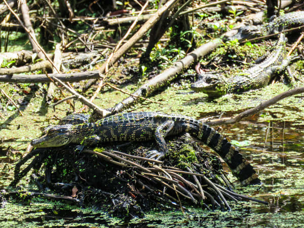 Alligator Young Photography Art | Lake LIfe Images