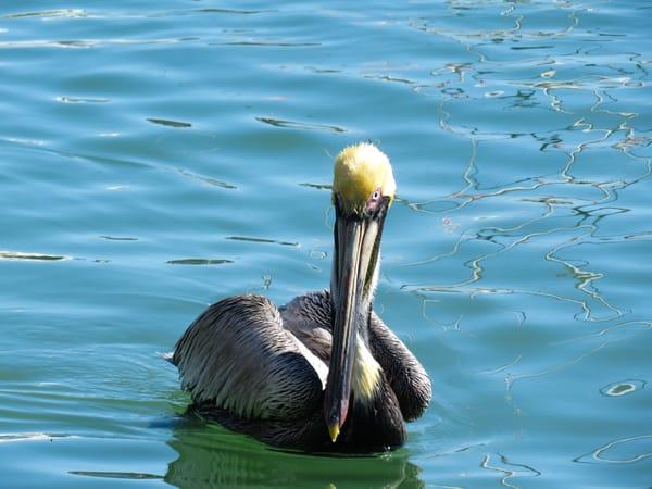 Brown Pelican Closeup Photography Art | Lake LIfe Images