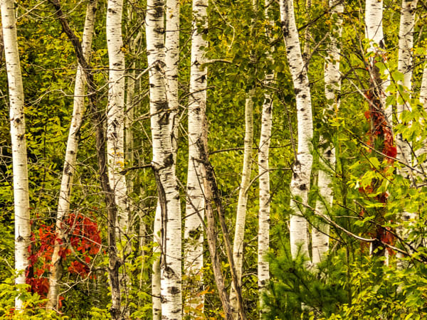 Fall Birch Trees Photography Art | Lake LIfe Images