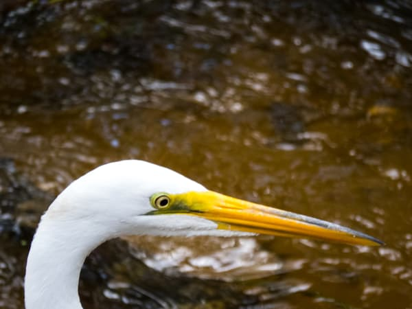 Great Egret Closeup Photography Art | Lake LIfe Images