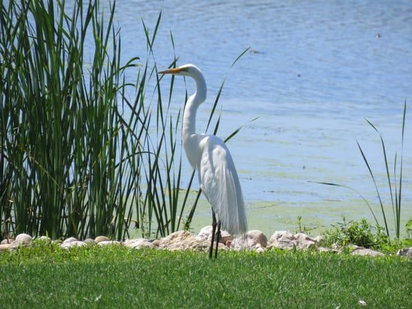 Great White Egret Photography Art   Lake LIfe Images