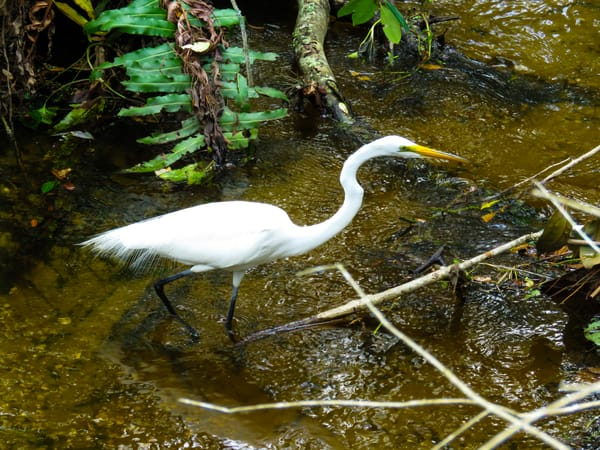 Great Egret Hunting Photography Art | Lake LIfe Images