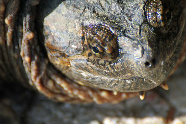 Common Snapping Turtle Photography Art | Lake LIfe Images