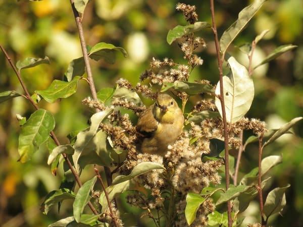 Female Goldfinch Photography Art | Lake LIfe Images