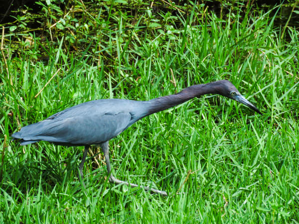 Little Blue Heron Hunting Photography Art | Lake LIfe Images