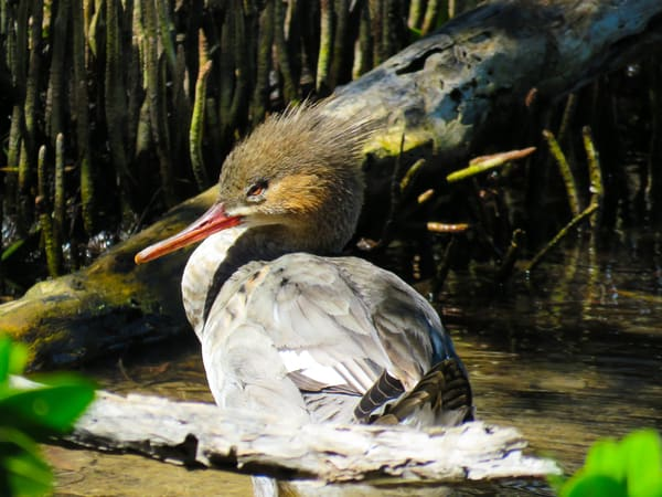 Female Red Breasted Merganser Photography Art | Lake LIfe Images
