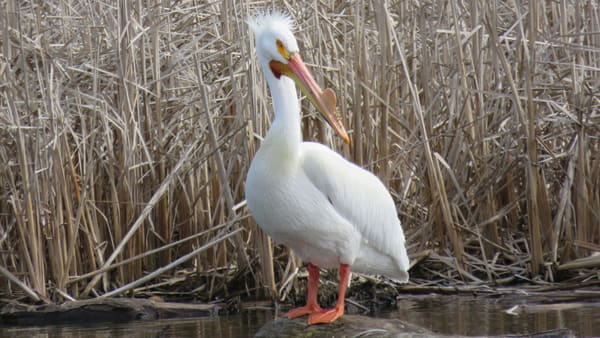 Poser   North American White Pelican  Photography Art   Lake LIfe Images