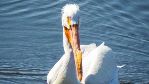 Bandit   North American White Pelican Photography Art | Lake LIfe Images