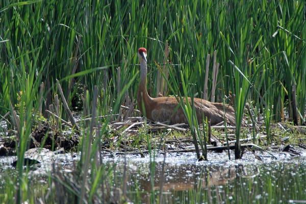 Nesting Sandhill Crane Photography Art | Lake LIfe Images
