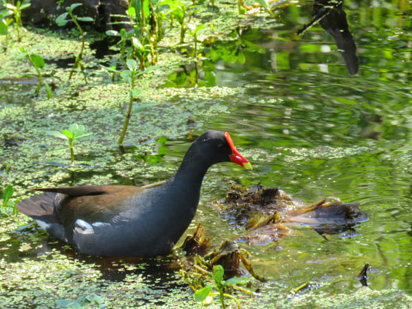 Moorhen Photography Art | Lake LIfe Images