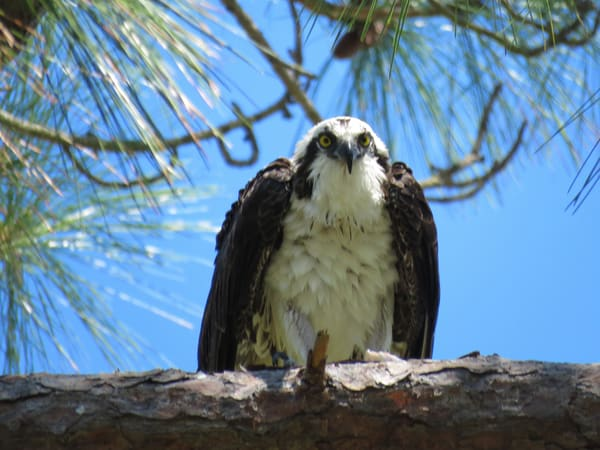 Osprey Eating Lunch Photography Art | Lake LIfe Images