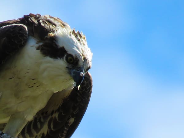 Osprey Having Dinner Photography Art | Lake LIfe Images