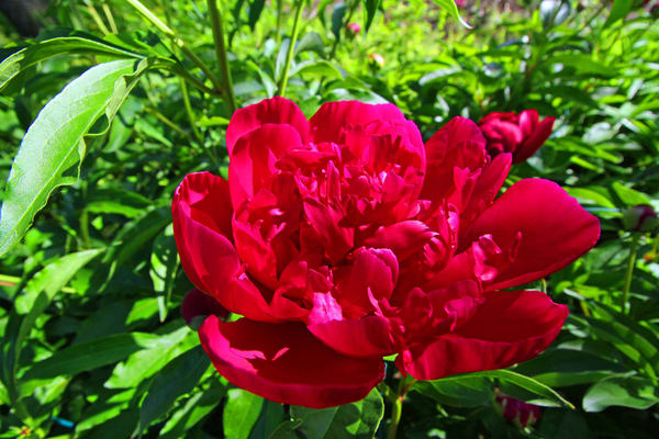Red Peony Photography Art | Lake LIfe Images