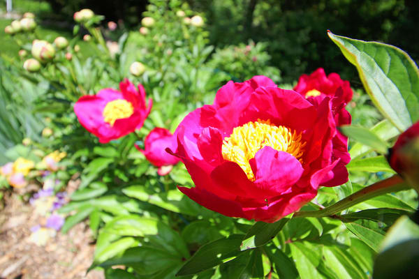Red Single Peony Photography Art | Lake LIfe Images